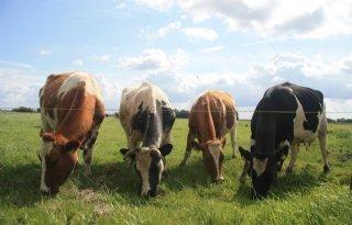Melkproductie+gelijk+bij+stripgrazen+of+kurzrasen